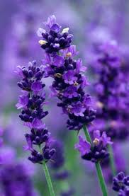 Attract Bees to your Garden   Lavender